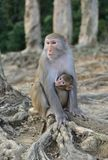 Monkey mother and baby. Forest Monkey mother and baby royalty free stock photo