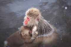 Monkey mother and baby Royalty Free Stock Photography