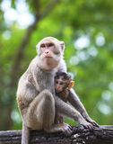 Monkey mother and baby in hugginh breast Royalty Free Stock Image