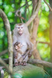 Monkey mother with baby Stock Image