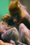 Monkey mother with baby Stock Images