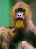 Monkey mother with baby Royalty Free Stock Image