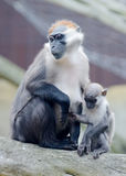 Monkey mother and baby Stock Photo