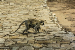 Monkey with baby. Capuchin monkey with baby running in Tarangire National Park Tanzania, on stone ground Stock Image