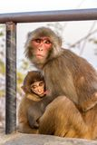Monkey Mother Breast-feeding Her Child Stock Photos