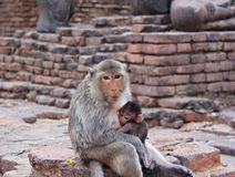 Monkey mother Stock Images