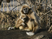 Monkey Mother with child. A Tamarin Monkey mother with her child Stock Photo