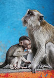 Monkey mother and child. In blue background Stock Photos