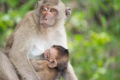 Monkey mother and child Royalty Free Stock Photo