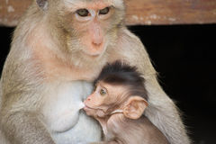 Monkey mother and child Stock Image