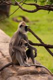 Monkey mother and child. Are sitting together Royalty Free Stock Photos