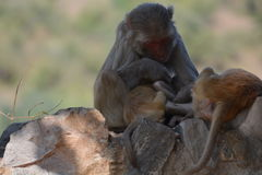 Monkey Mother comforting her baby Royalty Free Stock Images