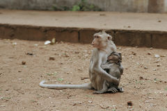 Monkey mother feeding  his baby Stock Photos