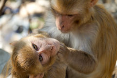 Monkey. Mother grooming her child stock photography