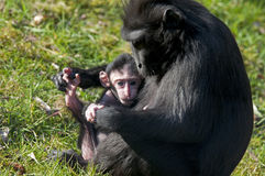 Monkey. Mother with her baby Stock Image