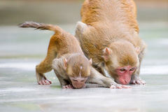 Monkey mother and her baby drinking water. A mother monkey and her baby are drinking water on ground stock photo