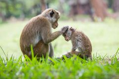 Monkey mother and her baby. A mother monkey and her baby in the jungle royalty free stock image