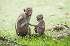 Monkey mother and her baby. A mother monkey and her baby in the jungle stock photos