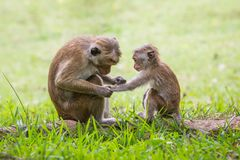 Monkey mother and her baby. A mother monkey and her baby in the jungle royalty free stock photo