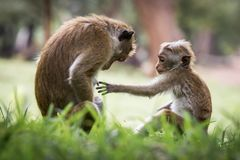 Monkey mother and her baby. A mother monkey and her baby in the jungle stock photography
