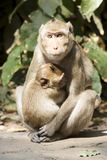 Monkey mother and  her  baby Royalty Free Stock Image