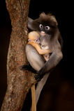 Monkey mother and her baby on tree  ( Presbytis obscura reid ). Stock Photo