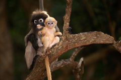 Monkey mother and her baby on tree ( Presbytis obscura reid ). Royalty Free Stock Photos