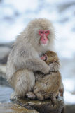 Monkey mother hug her son Royalty Free Stock Photos