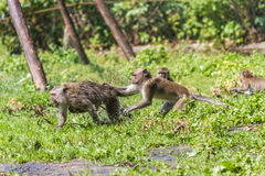 Monkey mother and its baby escaping Stock Photos