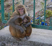 monkey - mother of many children Royalty Free Stock Photo