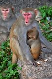 Monkey mother protect baby monkey. Red face monkey mother protect baby monkey Stock Photography