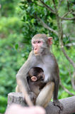 Monkey mother protect baby monkey. Red face monkey mother protect baby monkey Stock Photos