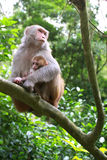 MONKEY MOTHER PROTECT BABY MONKEY. Monkeys on the tree in Hong Kong stock photos