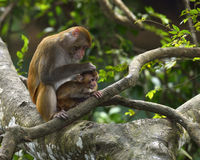 The monkey mother and son. The monkey mother is catching lice for baby monkey Stock Photos