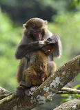 The monkey mother and son. The monkey mother is catching lice for baby monkey Stock Photo