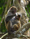 The monkey mother and son. The monkey mother is nursing the little monkey Stock Photos
