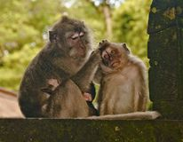 A monkey mother takes care of her monkey child. Careful monkey mother loves her children. The mother looks after one of them very tenderly. This is an ordinary Royalty Free Stock Photography