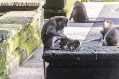 Monkey mother taking care of her baby on Bali Stock Photography