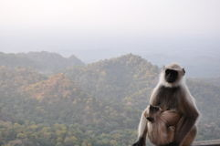 Monkey mother Stock Photography