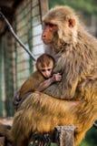 Mothers lap mothers love vaishno devi. Monkey mothers love in Vaishno Devi. Never ending love royalty free stock photos