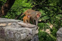 Mothers love, mansa devi temple. Monkey mothers love in Vaishno Devi. Never ending love stock image