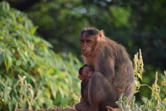 Monkey in motion. They care for there child too stock photo