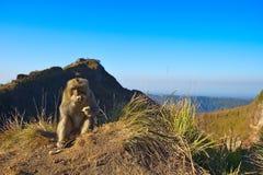 Monkey on Mount Batur on Bali Indonesia stock photography