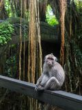 Monkey na árvore, árvore de escalada do macaco foto de stock royalty free