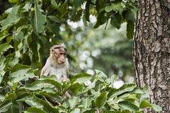 Monkey na árvore em Coorg Karnataka, Índia imagens de stock