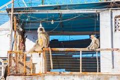 Monkey na cidade - langurs cinzentos (dussumieri de Semnopithecus) no telhado Foto de Stock Royalty Free