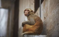 Monkey na cidade que senta-se no indicador Imagem de Stock Royalty Free