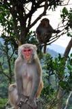 Monkey na parte dianteira e na parte traseira Fotos de Stock