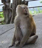 Monkey in national park, Thailand Stock Photography
