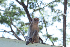 Monkey natural background Royalty Free Stock Images
